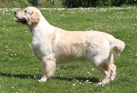 Golden Retriever Costa Artabra. Dance